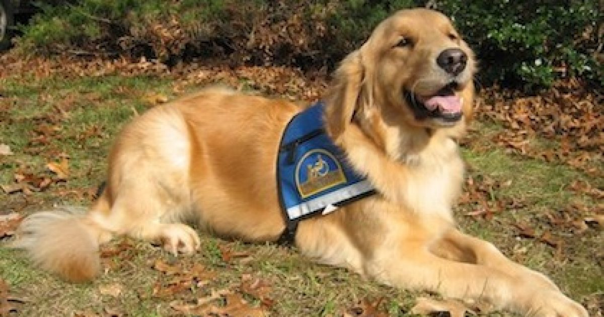 service dog golden